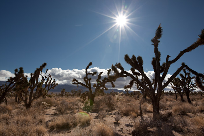 Part of the largest Joshua Tree forest in the world