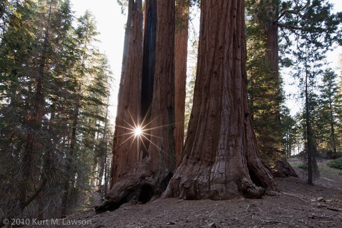 The Sun flares through a hole in a Sequoia