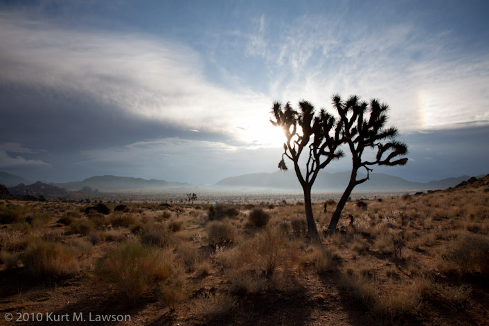 A Solitary Joshua Tree