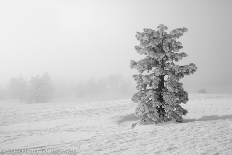Snow-coverd Pine