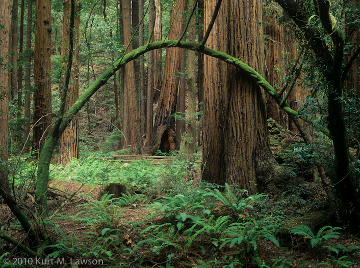 Arched Tree, Muir Woods, CA 1998