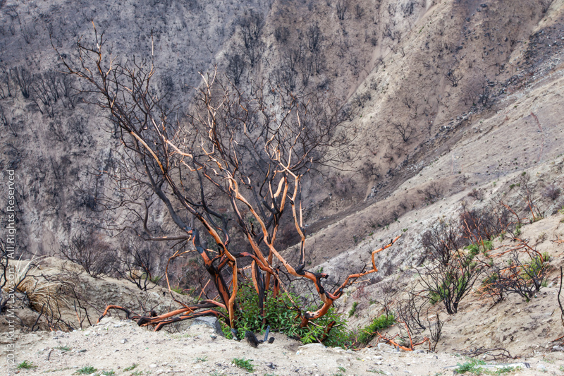 Burned with a little new growth, December 2009