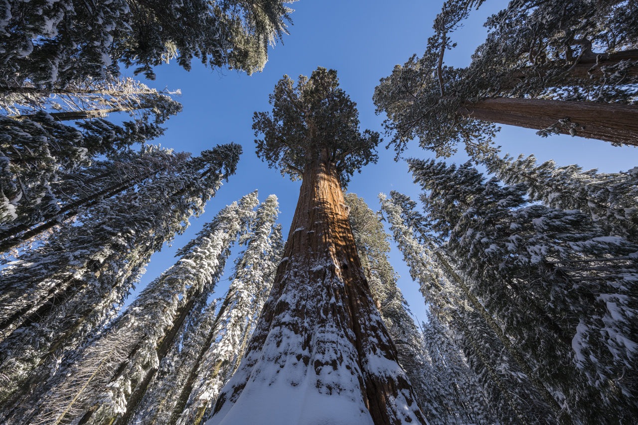 The Largest Tree on Earth